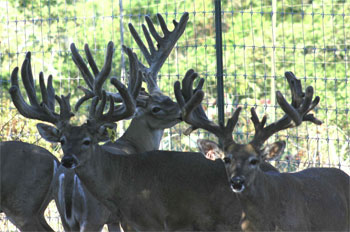 Trophy Whitetail Breeder Buck